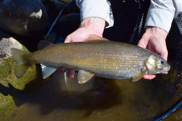blogi-7-myos-eaglelta-tavoittaa-hyvan-kokoisia-mountain-whitefishia