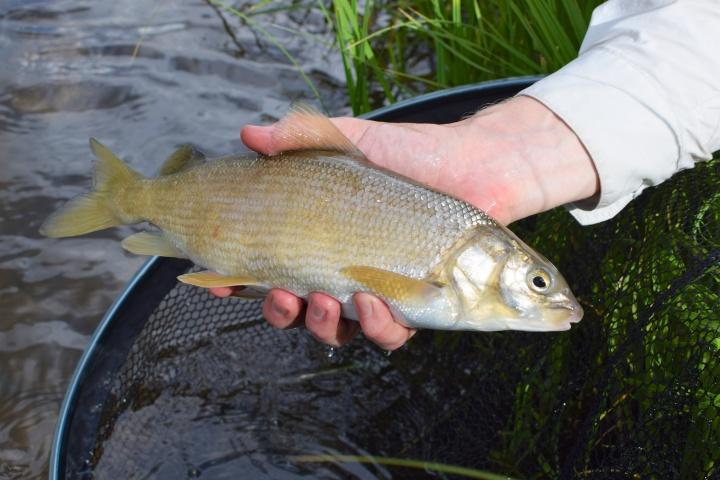 mountain-whitefishia-esiintyy-coloradolla-paikoittain-runsaasti